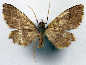 (Crypsimetalla aurata - 1246583_NGS)  @11 [ ] CreativeCommons - Attribution Non-Commercial Share-Alike (2015) Smithsonian Institution Smithsonian Institution