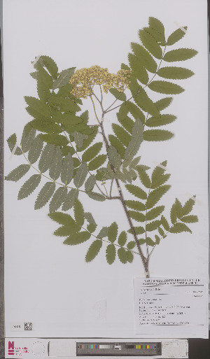 (Sorbus aucuparia - L 0895620)  @11 [ ] CreativeCommons - Attribution Non-Commercial Share-Alike (2012) Naturalis Biodiversity center Naturalis Biodiversity center