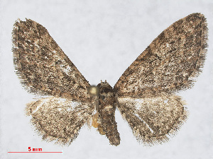 (Eupithecia abbreviata - RMNH.INS.538576)  @15 [ ] CreativeCommons - Attribution Non-Commercial Share-Alike (2014) Unspecified Naturalis, Biodiversity Centre
