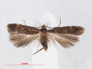 (Bryotropha senectella - RMNH.INS.540891)  @15 [ ] Unspecified (default): All Rights Reserved  Unspecified Unspecified