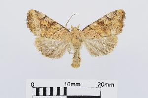 (Cosmia trapezina - RMNH.INS.541052)  @14 [ ] Unspecified (default): All Rights Reserved  Unspecified Unspecified