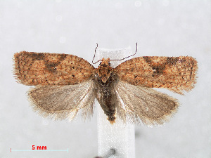 (Acleris ferrugana - RMNH.INS.538656)  @14 [ ] Unspecified (default): All Rights Reserved  Unspecified Unspecified