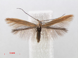 (Coleophora caespititiella - RMNH.INS.544348)  @15 [ ] Unspecified (default): All Rights Reserved  Unspecified Unspecified
