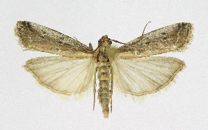 (Moitrelia multifidella - KBE 2019417)  @11 [ ] Creative Commons – Attribution Non-Commercial Share-Alike (2019) Kai Berggren NTNU University Museum, Department of Natural History
