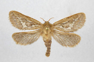 (Korschestetellus - NHMO Lep 2019.26)  @11 [ ] Copyright (2019) Leif Aarvik University of Oslo, Natural History Museum