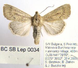 (Mythimna scirpi - BC_SB_Lep_0034)  @14 [ ] CreativeCommons - Attribution Non-Commercial Share-Alike (2010) NMNH, Sofia, Bulgaria Centre for Biodiversity Genomics
