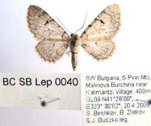 ( - BC_SB_Lep_0040)  @13 [ ] CreativeCommons - Attribution Non-Commercial Share-Alike (2010) NMNH, Sofia, Bulgaria Centre for Biodiversity Genomics