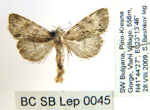 ( - BC_SB_Lep_0045)  @13 [ ] CreativeCommons - Attribution Non-Commercial Share-Alike (2010) NMNH, Sofia, Bulgaria Centre for Biodiversity Genomics