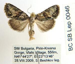 ( - BC_SB_Lep_0046)  @13 [ ] CreativeCommons - Attribution Non-Commercial Share-Alike (2010) NMNH, Sofia, Bulgaria Centre for Biodiversity Genomics