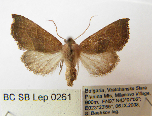 (Atethmia - BC_SB_Lep_0261)  @14 [ ] CreativeCommons - Attribution Non-Commercial Share-Alike (2010) NMNH, Sofia, Bulgaria Centre for Biodiversity Genomics