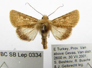 (Oncocnemis - BC_SB_Lep_0334)  @14 [ ] CreativeCommons - Attribution Non-Commercial Share-Alike (2010) NMNH, Sofia, Bulgaria Centre for Biodiversity Genomics