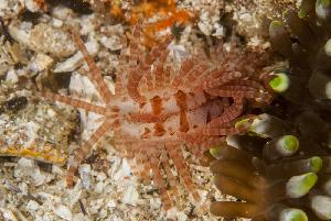 (Limida - NMSC_0169)  @15 [ ] Copyright  Steve Smith National Marine Science Centre