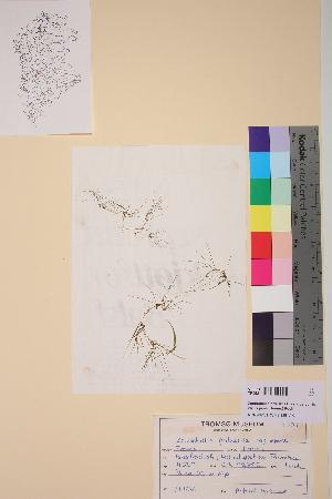 (Zannichellia - TROM-V-9351)  @11 [ ] CreativeCommons - Attribution Non-Commercial Share-Alike (2013) Unspecified Tromso University Museum