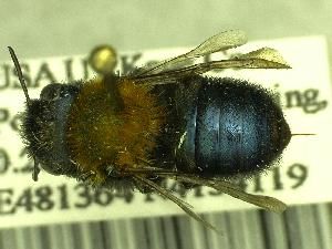 (Osmia cerasi - BBSL400684)  @11 [ ] Unspecified (default): All Rights Reserved  Unspecified Unspecified