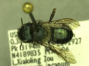 (Osmia sp_Y5 - YOSE194012)  @13 [ ] Unspecified (default): All Rights Reserved  Unspecified Unspecified