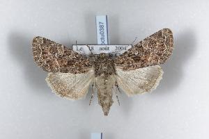 ( - BC-HAXNoctu0387)  @14 [ ] CreativeCommons - Attribution Non-Commercial (2011) J. J. Haxaire Museum National Histoire Naturelle Paris