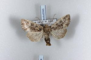 ( - BC-HAXNoctu0393)  @13 [ ] CreativeCommons - Attribution Non-Commercial (2011) J. J. Haxaire Museum National Histoire Naturelle Paris