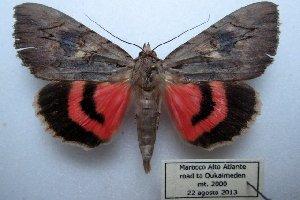 (Catocala sultana - 20357-220813-MO)  @15 [ ] Copyright (2013) Aidas Saldaitis Vilinus Ecological Institute