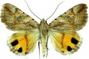 (Anydrophila sirdar - 20370-230290-UA)  @11 [ ] Copyright (2013) Robert Borth LepBio, LLC