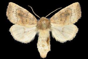 (Papaipema aweme - 20387-100909-MI)  @13 [ ] Copyright (2013) Dwayne Badgero Unspecified