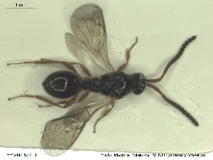 (Belyta subclausa - HYMNI2577)  @11 [ ] CreativeCommons - Attribution Share-Alike (2019) NTNU University Museum, Department of Natural History NTNU University Museum, Department of Natural History