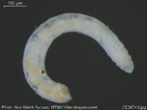 (Globulidrilus - CE30043)  @11 [ ] Creative Commons – Attribution Non-Commercial Share-Alike (2019) NTNU University Museum, Department of Natural History NTNU University Museum, Department of Natural History