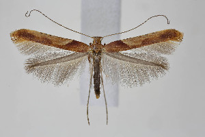 (Caloptilia fribergensis - BC_LSNOE_Lep_00730)  @15 [ ] CreativeCommons - Attribution Non-Commercial Share-Alike (2017) Wolfgang Stark Landessammlungen Niederösterreich