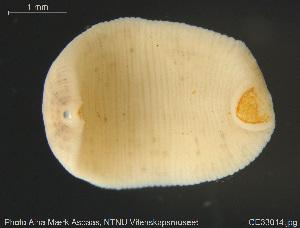 (Batracobdella - CE33014)  @11 [ ] Creative Commons – Attribution Non-Commercial Share-Alike (2019) NTNU University Museum, Department of Natural History NTNU University Museum, Department of Natural History