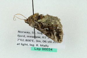(Autographa sp. RM15 - BCZMBNLep0034)  @12 [ ] Copyright (2014) Univers. of Bergen, Natural History Collection Univers. of Bergen, Natural History Collection