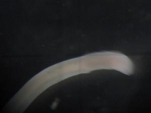 (Hubrechtidae - NemBar1133)  @12 [ ] CreativeCommons - Attribution Share-Alike (2014) M Strand Swedish species information centre