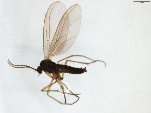 (Sciaroidea_incertae_sedis - TSZD-JKJ-102939)  @11 [ ] by-nc-sa (2017) Unspecified Tromsø University Museum