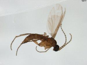 (Corynoptera thula - TSZD-JKJ-103780)  @11 [ ] by-nc-sa (2017) Unspecified Tromsø University Museum