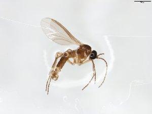 (Corynoptera infera - TSZD-JKJ-103781)  @11 [ ] by-nc-sa (2017) Unspecified Tromsø University Museum