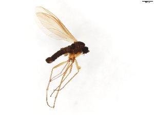 (Corynoptera plusiochaeta - TSZD-JKJ-103802)  @11 [ ] by-nc-sa (2017) Unspecified Tromsø University Museum