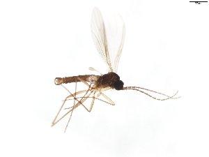 (Corynoptera perornata - TSZD-JKJ-103895)  @11 [ ] by-nc-sa (2017) Unspecified Tromsø University Museum