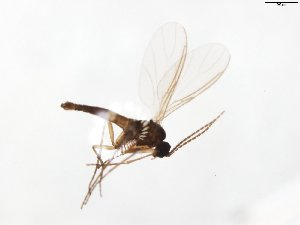 (Corynoptera subvariegata - TSZD-JKJ-103899)  @11 [ ] by-nc-sa (2017) Unspecified Tromsø University Museum
