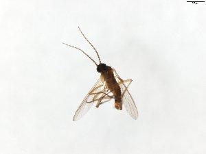(Corynoptera tumidula - TSZD-JKJ-104012)  @11 [ ] by-nc-sa (2017) Unspecified Tromsø University Museum