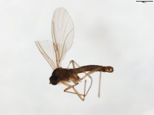 (Corynoptera marinae - TSZD-JKJ-104057)  @13 [ ] by-nc-sa (2017) Unspecified Tromsø University Museum