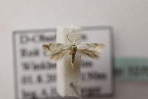 (Elachista sp1 - BC ZSM Lep 107019)  @11 [ ] by-nc-sa (2019) SNSB, Staatliche Naturwissenschaftliche Sammlungen Bayerns ZSM (SNSB, Zoologische Staatssammlung Muenchen)