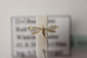 (Elachista sp2 - BC ZSM Lep 107020)  @11 [ ] by-nc-sa (2019) SNSB, Staatliche Naturwissenschaftliche Sammlungen Bayerns ZSM (SNSB, Zoologische Staatssammlung Muenchen)