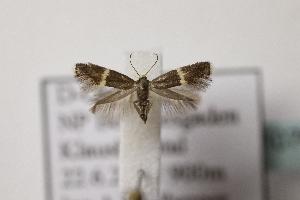 (Elachista sp8 - BC ZSM Lep 107095)  @11 [ ] by-nc-sa (2019) SNSB, Staatliche Naturwissenschaftliche Sammlungen Bayerns ZSM (SNSB, Zoologische Staatssammlung Muenchen)