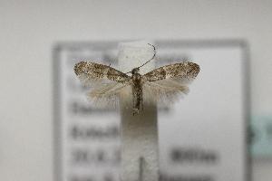 (Elachista sp12 - BC ZSM Lep 107123)  @11 [ ] by-nc-sa (2019) SNSB, Staatliche Naturwissenschaftliche Sammlungen Bayerns ZSM (SNSB, Zoologische Staatssammlung Muenchen)