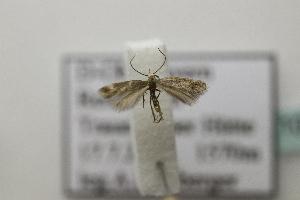 (Elachista sp21 - BC ZSM Lep 107152)  @11 [ ] by-nc-sa (2019) SNSB, Staatliche Naturwissenschaftliche Sammlungen Bayerns ZSM (SNSB, Zoologische Staatssammlung Muenchen)