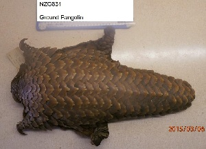 (Pholidota - NZG831)  @11 [ ] CreativeCommons - Attribution Share-Alike (2019) Unspecified National Zoological Gardens of South Africa