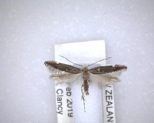 (Bilobata - NZAC04201440)  @11 [ ] No Rights Reserved (2020) Unspecified Landcare Research, New Zealand Arthropod Collection