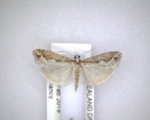 (Eudonia steropaea - NZAC04201446)  @11 [ ] No Rights Reserved (2020) Unspecified Landcare Research, New Zealand Arthropod Collection