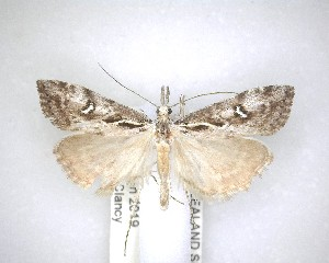 (Gadira - NZAC04201502)  @11 [ ] No Rights Reserved (2020) Unspecified Landcare Research, New Zealand Arthropod Collection