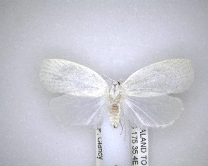 (Nymphostola galactina - NZAC04201561)  @11 [ ] No Rights Reserved (2020) Unspecified Landcare Research, New Zealand Arthropod Collection