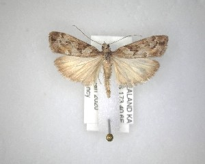 (Eudonia submarginalis - NZAC04231531)  @11 [ ] No Rights Reserved (2020) Unspecified Landcare Research, New Zealand Arthropod Collection