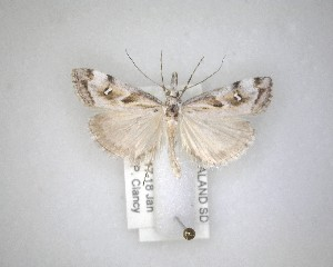 (Gadira - NZAC04231540)  @11 [ ] No Rights Reserved (2020) Unspecified Landcare Research, New Zealand Arthropod Collection